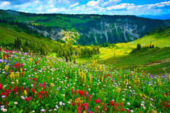 Wild flowers blooming on Mount Rainier Royalty Free Stock Image