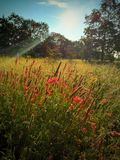 Wild flowers. Blooming wild flowers with trees in the background and sunrays Stock Image