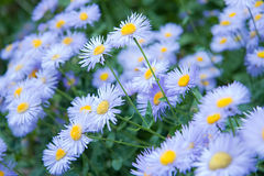 Wild Flowers - Blue Asters. A meadow of wild, blue Asters Royalty Free Stock Images