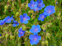 Wild flowers with blue petals Royalty Free Stock Photography