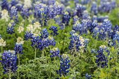 Wild Flowers. Blue and white wild flowers in Texas as found on the side of the road Royalty Free Stock Photo