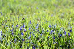 Wild flowers bluebells spring summer Royalty Free Stock Image