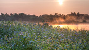Wild flowers by a bog. Wild flowers grows abundantly by a bog on which mist is drifting and being illuminated by the sun rising Stock Image