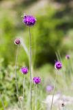 Wild flowers of burdock Stock Photography