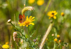 Wild flowers and butterfly. The growing wild flowers and butterfly closeup Royalty Free Stock Photo