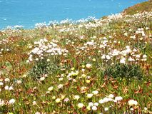 Wild flowers in Cabo da Roca near Sintra, Portugal, continental Europe's westernmost point