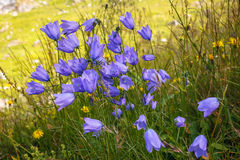 Wild flowers campanula in moutains Stock Photos