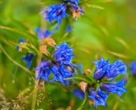 Wild flowers macro. Carpathian, flowers, blue, flower, nature, macro, background, landscape Royalty Free Stock Photo