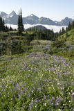 Wild Flowers Cascades/Mt. Rainier. Wildflower meadow in Mount Rainier National Park. The Cascades mountain range is is the background, with clouds separating Stock Image