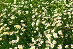 Wild flowers chamomile Stock Image