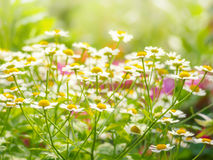 Wild flowers chamomile field daisy plant sunlight summer spring royalty free stock image