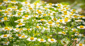 Wild flowers chamomile field daisy plant sunlight summer spring royalty free stock photography