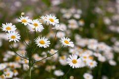 Wild flowers chamomile Stock Photos