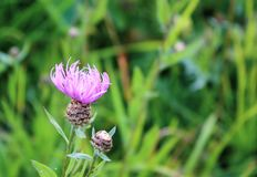 Wild flowers close up on green grass background in summer. Wild pink flowers close up on green grass background in summer stock photography