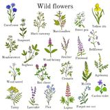 Wild flowers color set. Wild flowers color hand drawn set isolated on white background. Botanical vector illustration Royalty Free Stock Image
