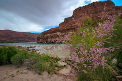 Wild Flowers Colorado River at Lees Ferry Arizona Landscape. Colorado River at Lees Ferry Glen Canyon Arizona Stock Photography
