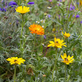 Wild flowers. Colorful wild flower meadow with yellow blooming flowers stock images