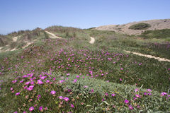Wild flowers on Cordama Beach, Algarve, Portugal Stock Photography