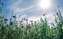 Wild Flowers, cornflowers,  Blooming over blue sky Stock Images