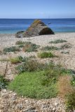 Wild flowers, Cornwall coastline, England Stock Photos