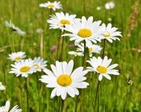 Wild flowers of Czech Highlands stock image