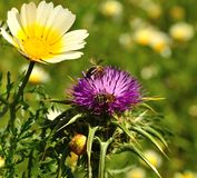 Wild flowers of daisy, milk thistle and bees. Worker bees between wild flowers of daisy and milk thistle silybum marianum collecting exquisite pollen Stock Images