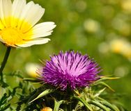 Wild flowers of daisy and milk thistle in foreground. Wild flowers milk thistle silybum marianum and daisy in full bloom on unfocused green background Royalty Free Stock Images