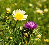 Wild flower and buds of daisy beside milk thistle. Wild flowers milk thistle silybum marianum and daisy in full bloom on unfocused green background Royalty Free Stock Photo