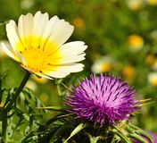 Wild flowers of daisy and milk thistle. Wild flowers milk thistle silybum marianum and daisy in full bloom on unfocused green background Stock Photography
