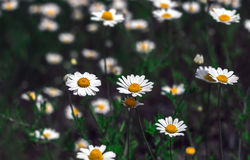 Wild flowers, daisy. summer field camomiles. Stock Photos