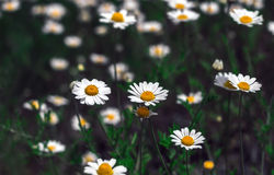 Wild flowers, daisy. summer field camomiles. Royalty Free Stock Photo