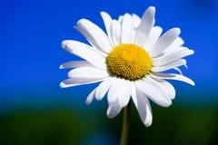 Free Wild Flowers Daisy White. Stock Image - 181551671