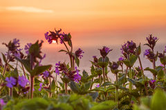 Wild flowers at dawn. Wild flower against the sea and the sunrise Royalty Free Stock Image