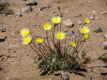 Wild Flowers. Death Valley. Wild flowers of desert Royalty Free Stock Photo
