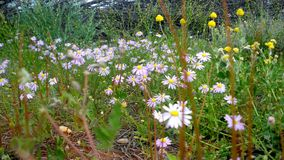 Wild flowers. In the desert country of Australia Royalty Free Stock Image