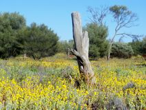 Wild flowers. In the desert country of Australia Stock Photo