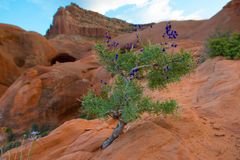 Wild Flowers, Desert Vegetation Cave Point, Grand Staircase - Es Royalty Free Stock Photo