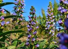Wild flowers echium callithyrsum, Gran canaria. Wild flowers of echium callithyrsum Royalty Free Stock Images