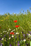 Wild flowers on edge of wheatfield. Stock Images