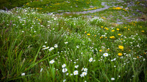 Wild flowers on Fagaras mountain Royalty Free Stock Image