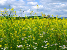 Wild Flowers in Farm Field. Wild mustard and asters grow in a farm field in spring before planting.  Northeast US Stock Image