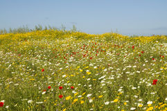 Wild flowers field Royalty Free Stock Photography