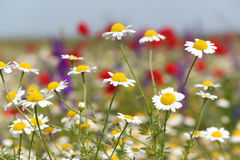 Wild flowers field Stock Photo