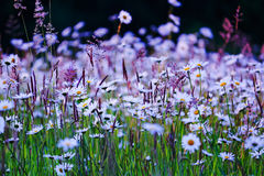 Wild flowers field. In purple white and green Stock Photo