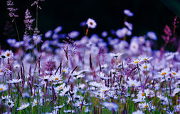 Wild flowers field. In purple white and green on Black Background Royalty Free Stock Photo