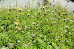 Wild flowers field in sunlight, green spring background Royalty Free Stock Image