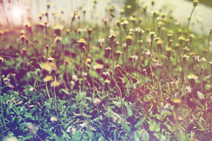 Wild flowers field in sunlight, vintage style background Royalty Free Stock Image