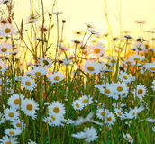 Wild flowers field. In  white Yellow and green Royalty Free Stock Photos