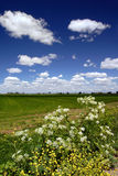 Wild Flowers, Fields, and Sky Royalty Free Stock Image