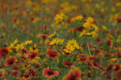 Wild Flowers in the fields of South Texas Stock Photography